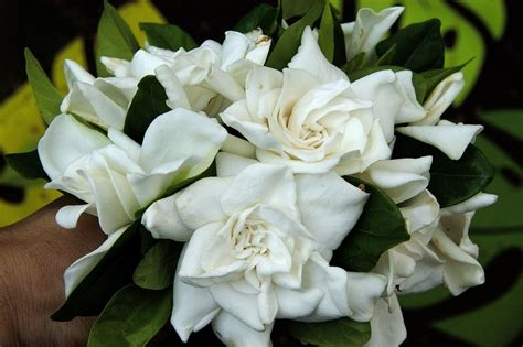 Cool Scents Gardenia Growing With Plants Staying Cool With Stylish White