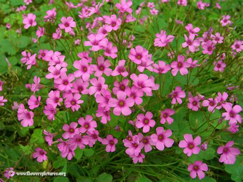 Oxalis by Oxalis Plants Picture