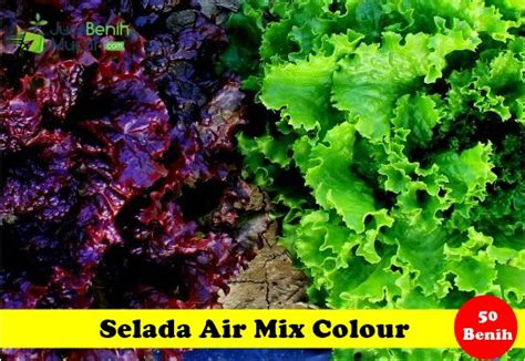 Benih Bibit Bunga Krisan Mix Color Maica Leaf 2 selada air mix colour jualbenihmurah