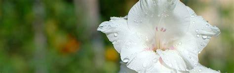 gladiolo fiore le bulbose gladiolo gladiolus coltivazione e cura