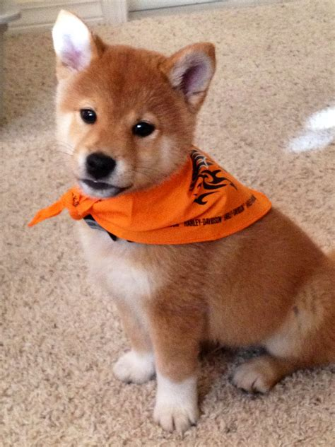 puppy that looks like a fox shiba inu puppy looks like a baby fox