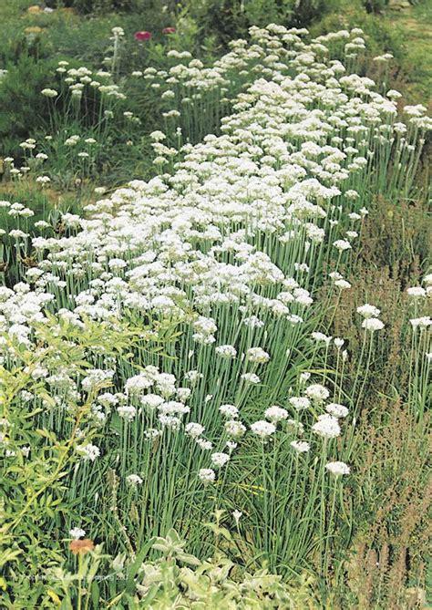 garlic chives edible landscaping