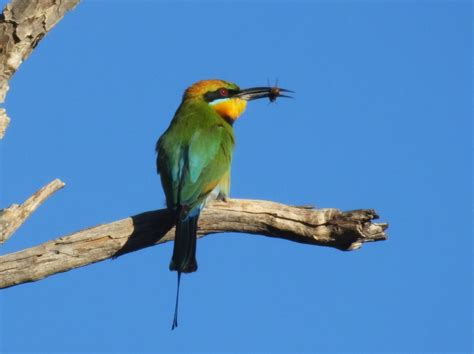 rainbow bee eaters merops ornatus bird pics gallery