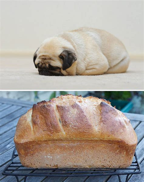 pug bread loaf that looks like pug that looks like a loaf of bread car tuning 15 dogs that look like other things