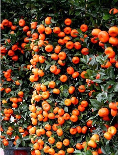 Bibit Benih Seeds Buah Markisa Oren Orange Fruit mini orange pohon promotion shop for promotional mini orange pohon on aliexpress alibaba