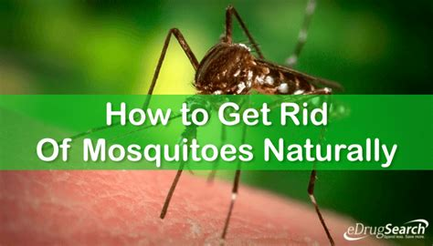 How To Get Rid Of Mosquitoes Naturally | how to get rid of mosquitoes naturally 187 edrugsearch com