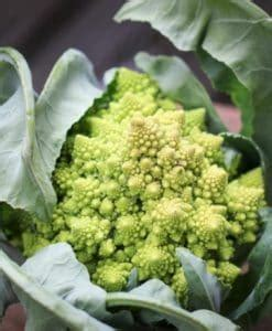 Beli Bibit Mawar Rambat jual benih bibit tanaman semua jenis tanaman bibit