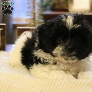 havanese breeders maryland havanese puppies for sale in pa md ny nj
