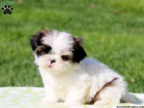 imperial shih tzu puppies for sale in ct 242 best cuties images on shih tzu puppy shih tzus and html