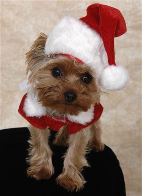 christmas yorkie wallpaper 158 best cutest yorkies images on pinterest