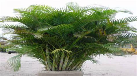 areca bambu palmeira areca dypsis lutescens