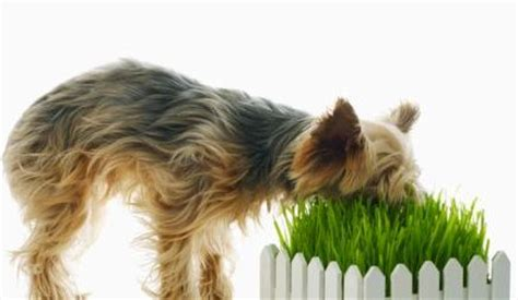 is it bad for dogs to eat grass why do our doggies herbivore behavior the pets central