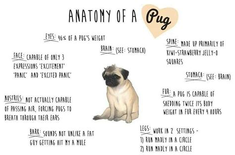 pug anatomy anatomy of a pug my favorite pin today