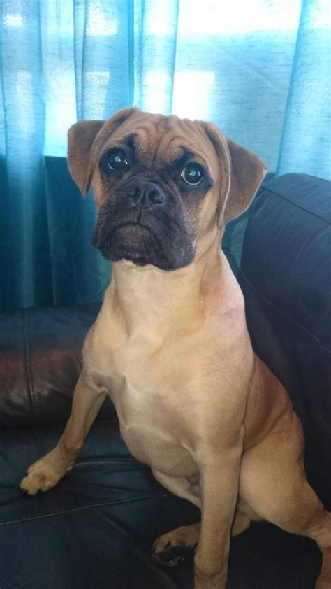 fawn boxer puppies fawn boxer puppy west bromwich west midlands pets4homes