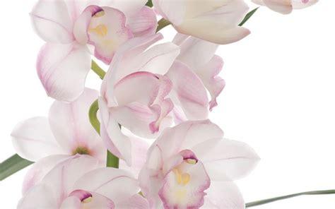 orchidee dendrobium orchidee orchidee dendrobium