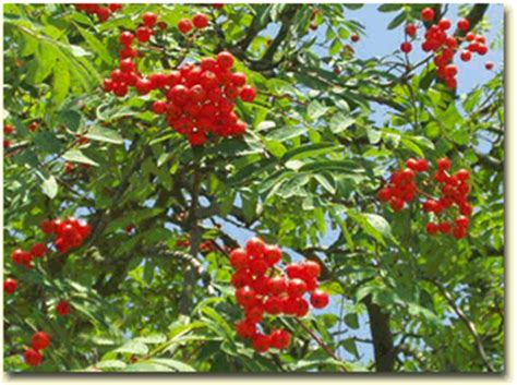 rowan tree fruit neil cooks grigson 315 cornel cherry rowanberry