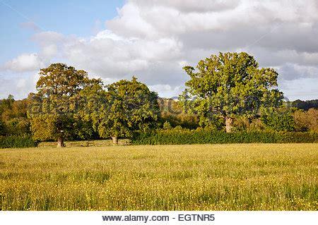 oak tree and field of wildflowers, blue bonnets, indian