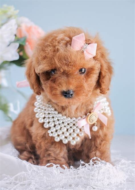 poodle puppy for sale teacup poodles and poodle puppies for sale by teacups puppies teacups puppies