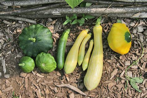 skippys vegetable garden skippy s vegetable garden harvest