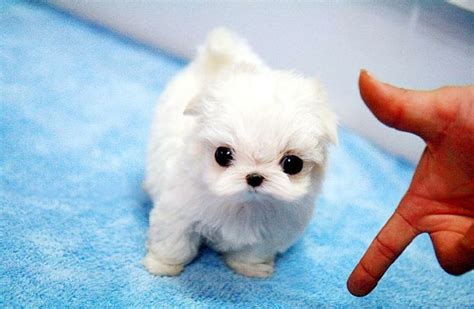 teacup maltese pomeranian 25 best ideas about puppies for sale on pet dogs for sale sale and