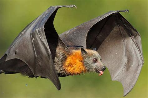 imagenes animales que vuelan qu 233 es un murci 233 lago caracter 237 sticas y c 243 mo vuelan a ciegas