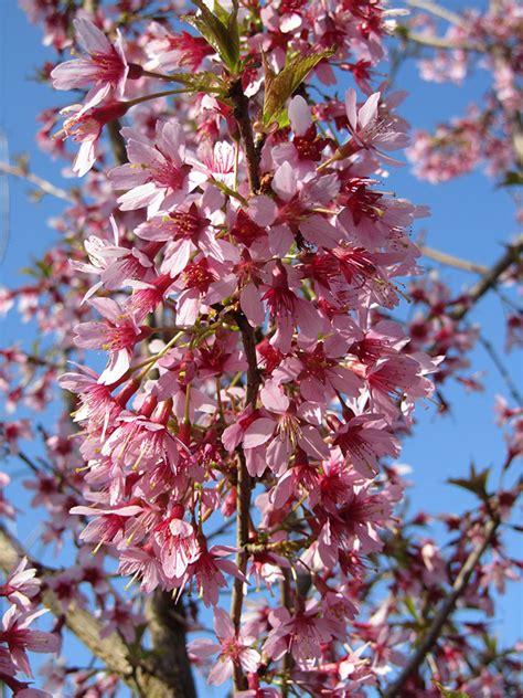 okame cherry prunus okame 171 chew valley trees