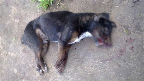 puppy beaten beaten stoned to george herald