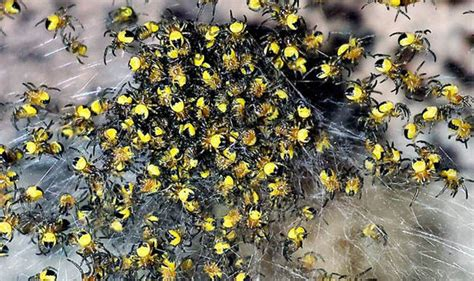 clusters of terrifying yellow spiders spotted across the