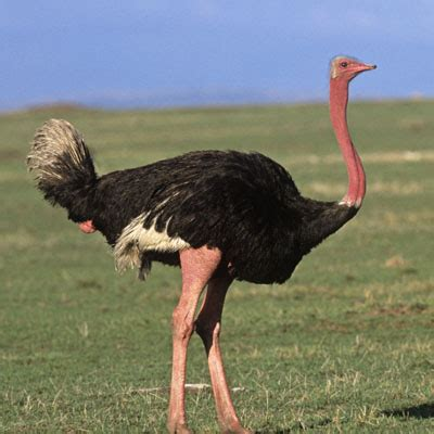 difference between emu and ostrich birds