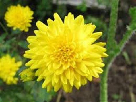 Obat Herbal Mengurangi Sesak Nafas manfaat teh bunga krisan untuk kesehatan loveheaven07