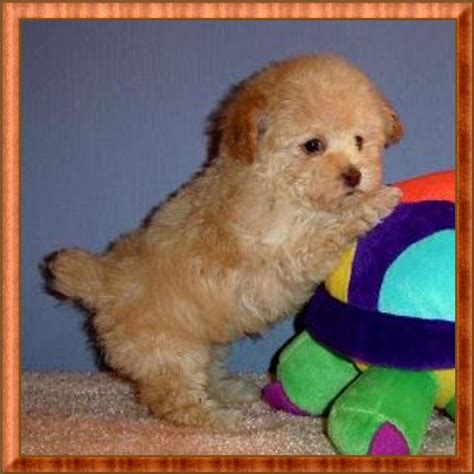 tiny teacup poodle puppies for sale best 25 teacup poodle puppies ideas on teacup maltipoo maltipoo puppies