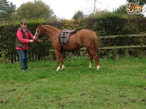 section b welsh pony for sale welsh section b chestnut mare pewsey wiltshire pets4homes