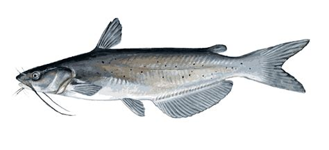 What Does Catfish Use To Find Catfish Clipart Clipart Best