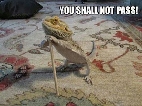Lizard Meme - 39 best images about bearded dragon on pinterest animals