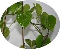 Bibit Tanaman Herbal Brotowali manfaat daun brotowali tanaman bunga hias