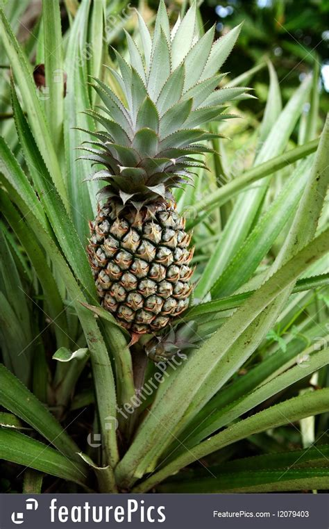 food pineapple plant stock picture   featurepics