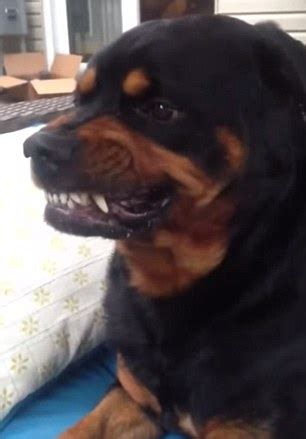 scary rottweiler rottweiler turns vicious on command in hilarious daily mail