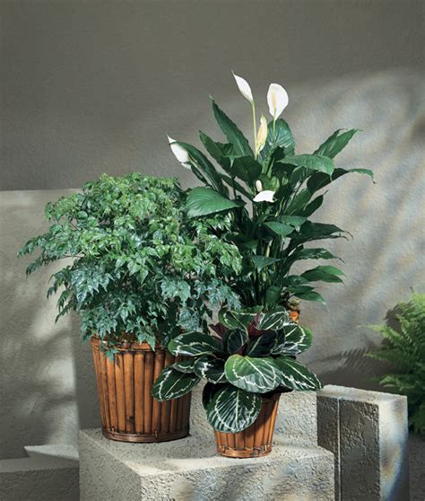 china doll aralia plant terry s floral treasures plants