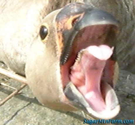 goose's tongue teeth | sugar mountain farm