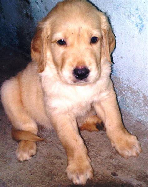 golden retriever original price golden retriever puppies for sale pedigreep30157 1 7006 dogs for sale price of