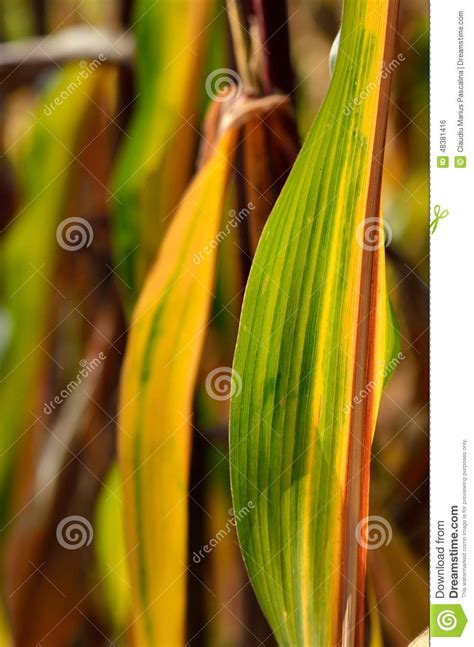colorful corn colorful corn leaf stock photo image 48381416