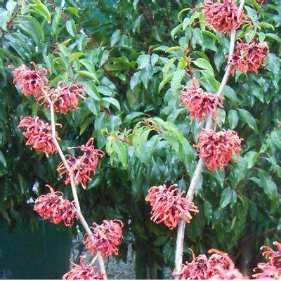 winter flowering shrubs woodlands advise customers on pruning winter