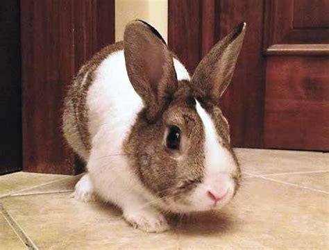 coniglio testa di nano coniglio nano un amico speciale
