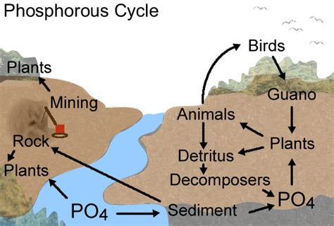 phosphorus cycle diagram and explanation simple sulfur cycle diagram simple free image about