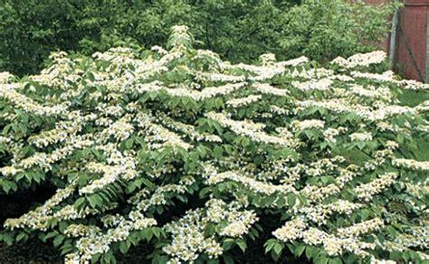 best vines earphones problems viburnums are versatile shrubs finegardening