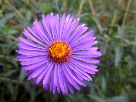 state flower of iowa flower at reiman gardens photostream iowa state