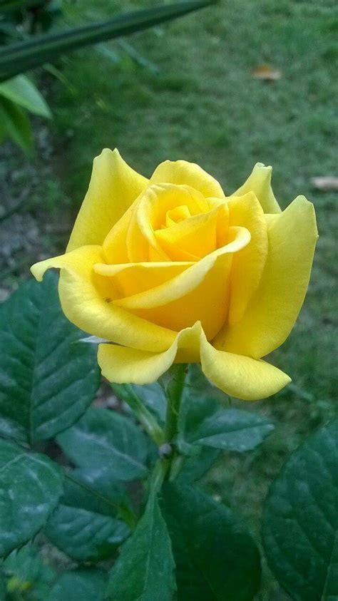 imagenes de rosas hermosas amarillas rosa amarilla zzz flores y plantas pinterest rosas