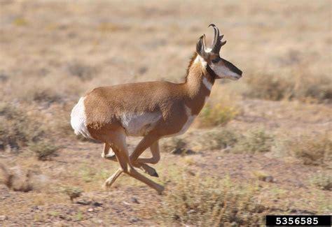 pronghorn antilocapra americana natureworks
