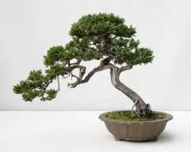 bonzi tree old japantown
