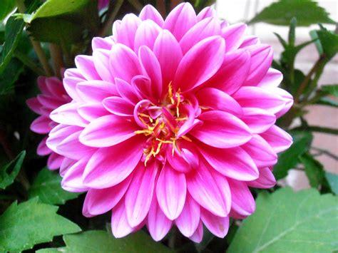 la flor de dalia laberinto la flor de dalia laberinto la dalia siembra cultivo y
